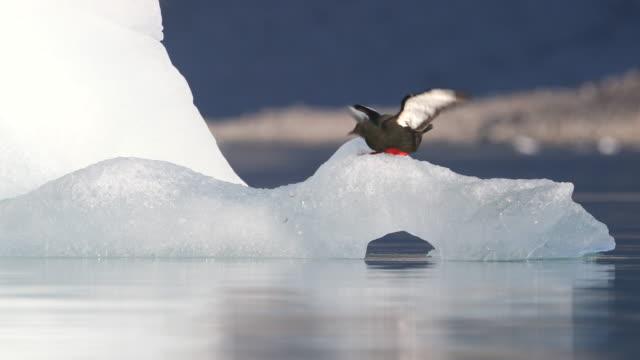 black guillemot on iceberg - auk stock videos & royalty-free footage