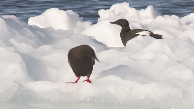 vídeos de stock e filmes b-roll de black guillemots (cepphus grylle) on ice, manning island, nunavut, canada - gelo picado