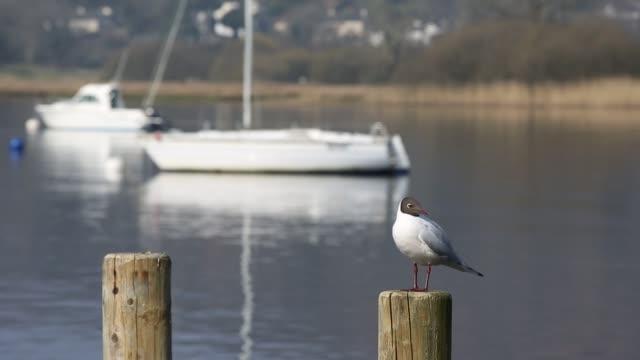vídeos y material grabado en eventos de stock de a black headed gull on lake windermere in ambleside, lake district, uk. - distrito de los lagos de inglaterra