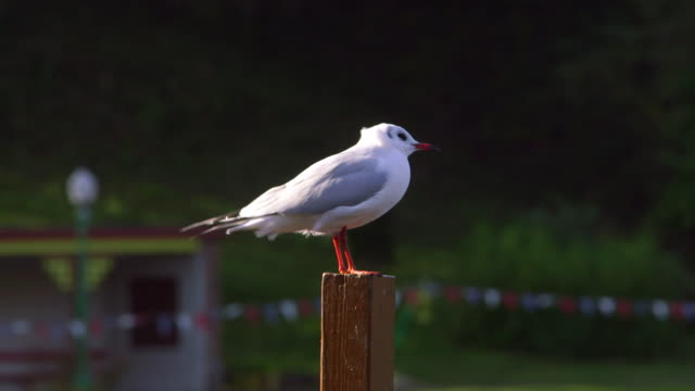 Black Headed Gull With Winter Plumage