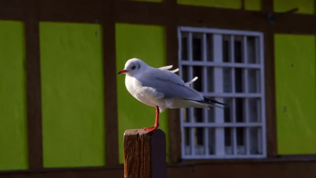 stockvideo's en b-roll-footage met black headed gull with winter plumage - scarborough engeland