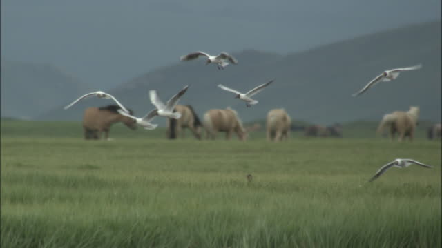 Black headed gulls hover over grass, horses in background, Bayanbulak grasslands.