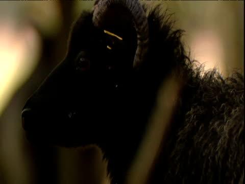 vidéos et rushes de black hebridean sheep turns away - unique