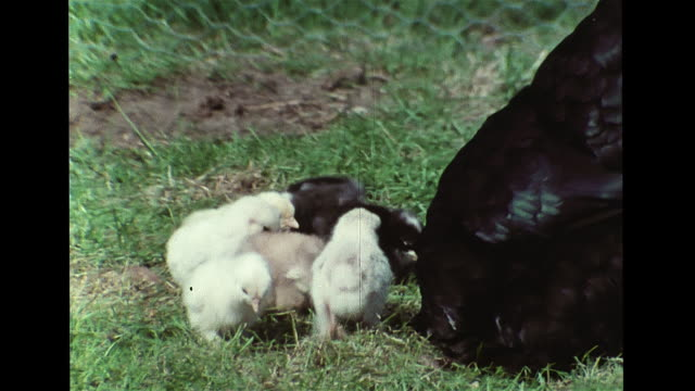 black hen walking on grass w/ brood clutch of eight chicks, babies watching mother feed, all pecking. sound: lost chick chirping, superimposed tiny... - sound wave stock videos & royalty-free footage