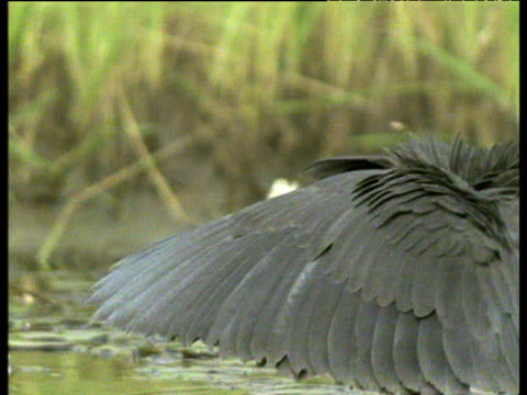 vídeos de stock e filmes b-roll de black heron shades its eyes with its wings as it hunts for fish in swamp, africa - asa de animal