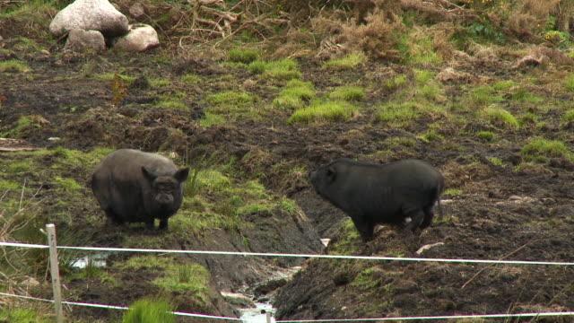 stockvideo's en b-roll-footage met black hogs in muddy field - neus van een dier