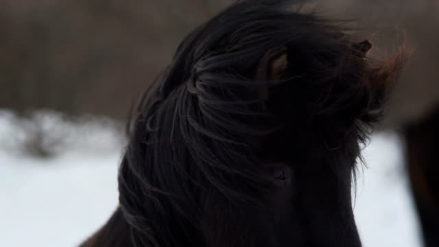 black Horse in Wind