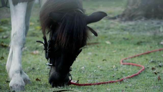 黒い馬の放牧草 - 雄馬点の映像素材/bロール
