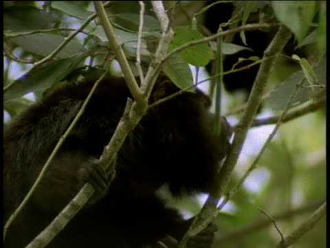 Black Howler Monkey calls and shakes tree branches