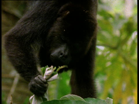 Black Howler Monkey hangs by tail from branch and eats leaves