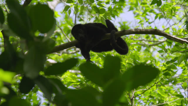 """Black howler monkey (Alouatta pigra) in forest, Calakmul, Mexico"""