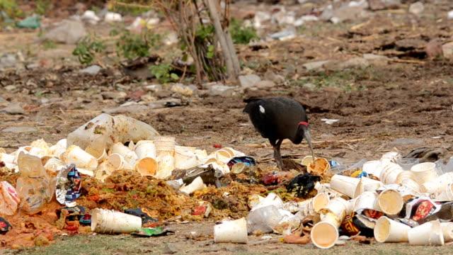 black ibis - dead animal stock videos & royalty-free footage