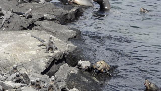 MS PAN Black Iguana sun bathing on rock at beach / Isabella Island, Galapagos Islands, Ecuador