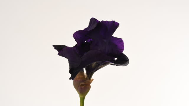 black iris flower dying time lapse. new bud starts to grow - iris plant stock videos & royalty-free footage