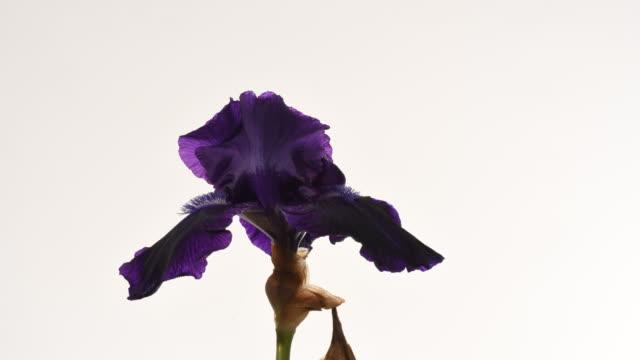 black iris flower dying time lapse. - iris plant stock videos & royalty-free footage