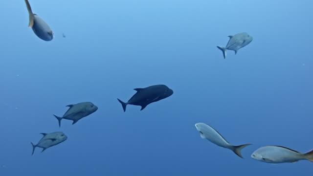 black jack, black trevally or black kingfish (caranx lugubris) at roca partida - roca video stock e b–roll