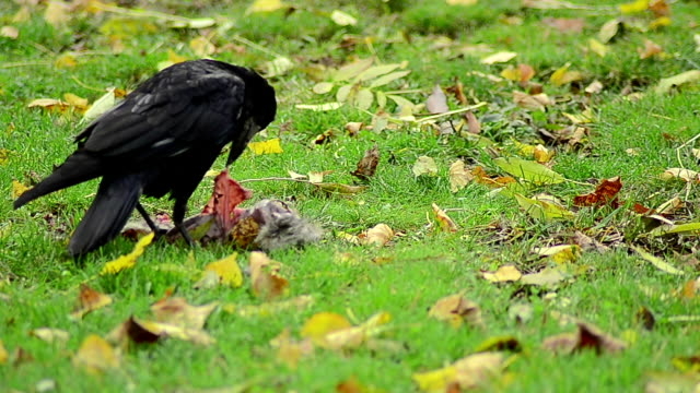 Black jackdaw searching for food - Stock Video