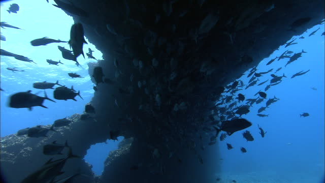 Black jacks (Caranx lugubris) swim under volcanic rock arch, Ascension Island