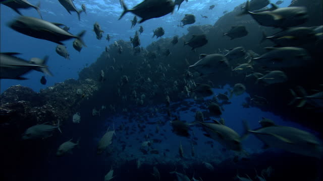 stockvideo's en b-roll-footage met black jacks (caranx lugubris) swim under volcanic rock arch, ascension island - school met vissen