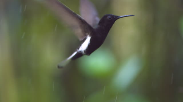 vídeos de stock, filmes e b-roll de black jacobin (florisuga fusca) hovers and feeds in rain. - hummingbird