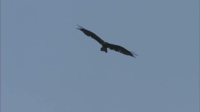 black kite bird - hovering stock videos and b-roll footage