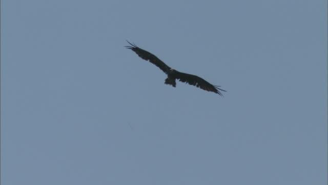 80 Top Black Shouldered Kite Video Clips & Footage