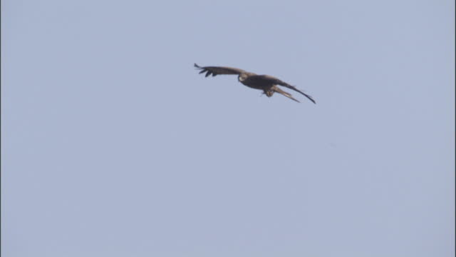 black kite feeds whilst soaring available in hd. - apparato digerente animale video stock e b–roll