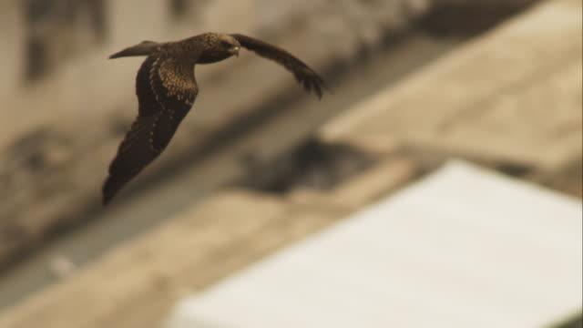 ms black kite flies over houses in jodhpur looking round - 翼を広げる点の映像素材/bロール