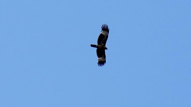 vidéos et rushes de un cerf-volant noir dans le ciel bleu - rapace