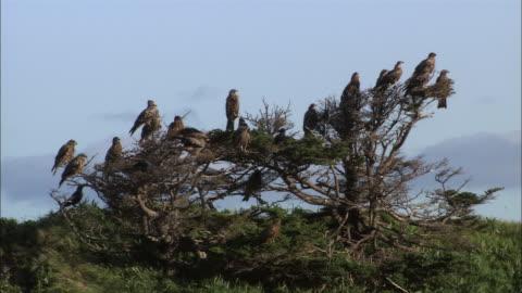 black kite in hokkaido - perching stock videos & royalty-free footage