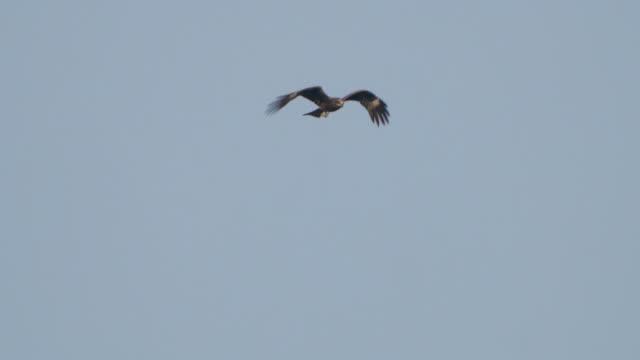 black kite (milvus migrans) - khingan reserve - angle stock videos & royalty-free footage