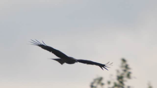 black kite (milvus migrans) - khingan reserve - animal wing stock videos & royalty-free footage