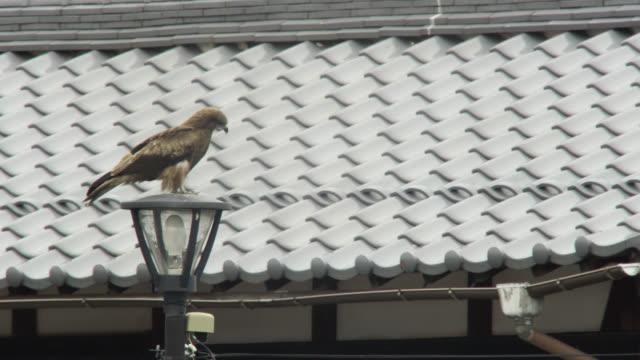 vidéos et rushes de black kite perched on lamppost, japan. - équipement photographique