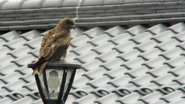 black kite perched on lamppost, japan. - takashima shiga stock videos & royalty-free footage