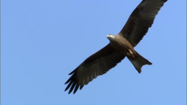 Black kite (Milvus migrans) soars over spiny forest, Madagascar