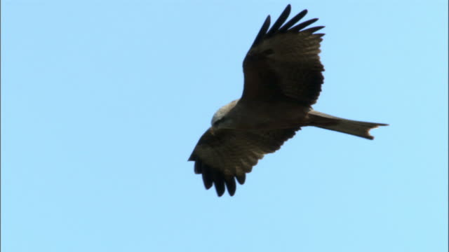 Black kite (Milvus migrans) soars over spiny forest, Madagascar