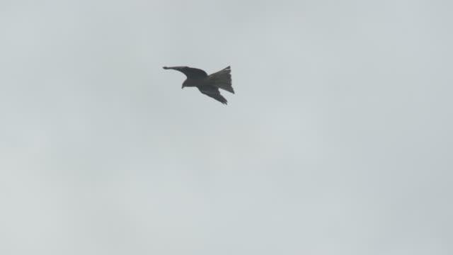 black kite soars through sky, japan. - takashima shiga stock videos & royalty-free footage