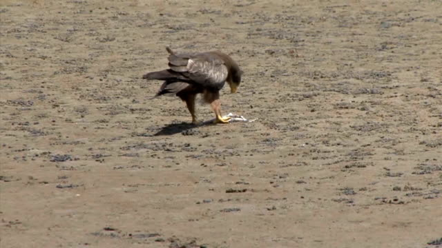 black kite - rotmilan stock-videos und b-roll-filmmaterial