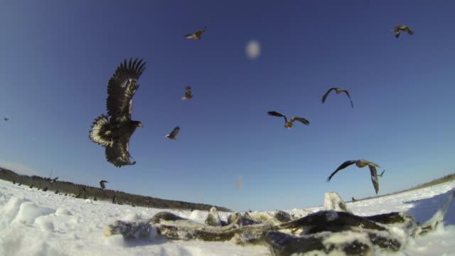black kites (milvus migrans) and steller's sea eagles (haliaeetus pelagicus) swoop down to grab fish carcasses from pile. japan - große tiergruppe stock-videos und b-roll-filmmaterial