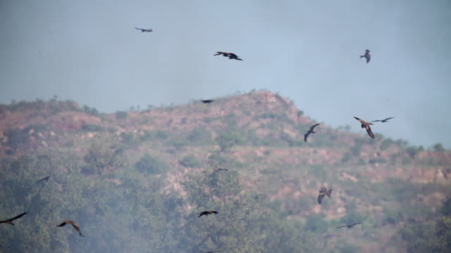 black kites circling above outback bush fire in slow motion - bird of prey stock videos & royalty-free footage