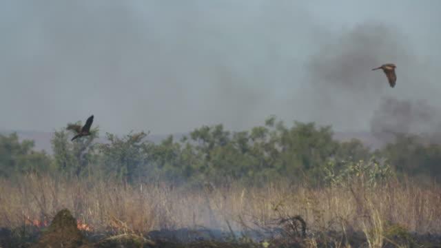vídeos de stock, filmes e b-roll de black kites circling above outback bush fire in slow motion - ave de rapina