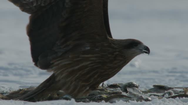 vídeos de stock, filmes e b-roll de black kites (milvus migrans) swoop down and grab fish from a pile in the snow. japan - grupo médio de animais