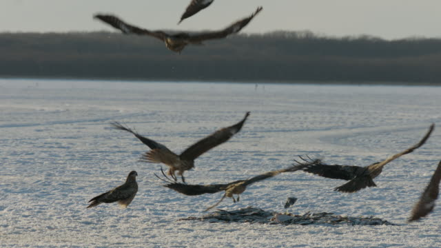 black kites (milvus migrans) swoop down and grab fish from pile. japan - agility stock videos & royalty-free footage