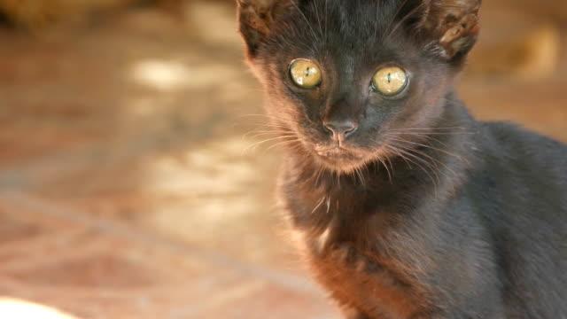 黒い子猫猫 - 黒猫点の映像素材/bロール