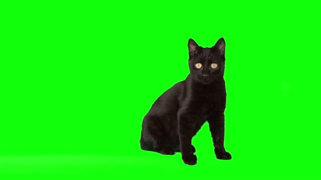 緑のスクリーンに座っている黒い子猫 - 黒猫点の映像素材/bロール