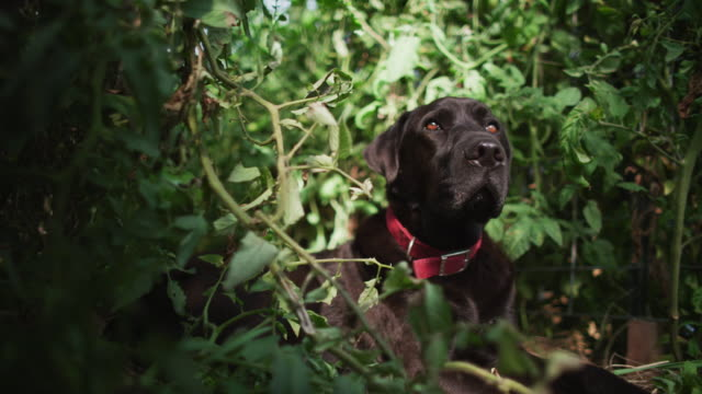 a black lab dog lies next to tomato plants in an organic farm-to-table greenhouse. - farm to table stock videos & royalty-free footage