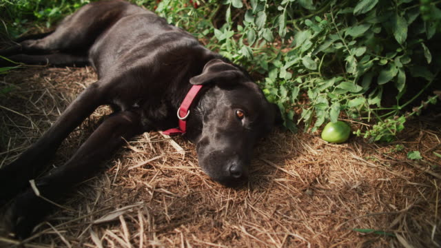 a black lab dog lies on its side next to tomato plants in an organic farm-to-table greenhouse. - farm to table stock videos & royalty-free footage