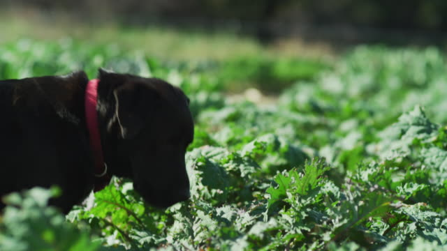 a black lab dog watches over a large green organic farm-to-table garden. - farm to table stock videos & royalty-free footage