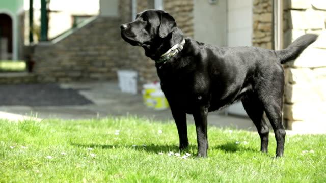 vídeos y material grabado en eventos de stock de labrador negro barking (perro guardián) - perro cazador
