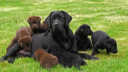 Black Labrador Retriever Bitch and Black and Brown Puppies on the Lawn, Normandy, 4K Slow Motion